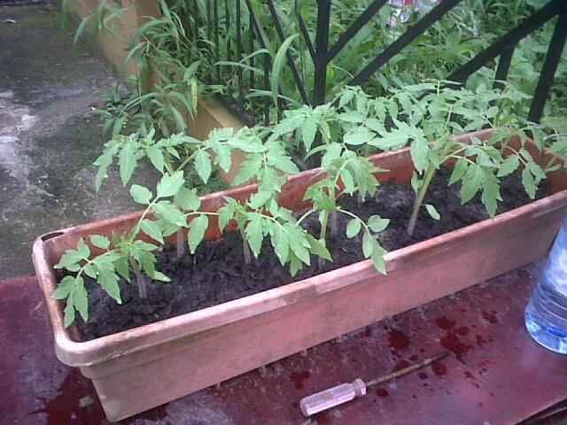 huerto casero tomates tradicional